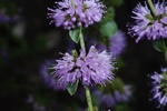 Water Mint (Mentha pulegium) photo