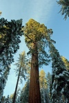 Wellingtonia (Sequoiadendron giganteum) photo
