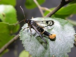 Welsh Clearwing (Synanthedon scoliaeformis) photo