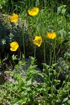 Welsh Poppy (Meconopsis cambrica) photo