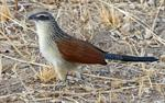 White-browed Coucal (Centropus superciliosus) photo
