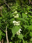 White Deadnettle (Lamium album) photo