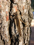 White-faced Bush Cricket (Decticus albifrons) photo