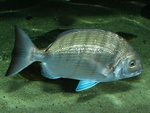 White seabream (Diplodus sargus) photo