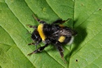 White-tailed bumble bee (Bombus lucorum) photo