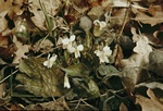White Violet (Viola alba) photo