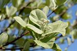 Whitebeam (Sorbus aria) photo