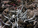 Whiteworm lichen (Thamnolia vermicularis) photo