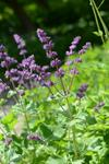 Whorled Clary (Salvia verticillata) photo