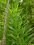 Whorled Solomon´s Seal (Polygonatum verticillatum) photo