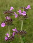 Wild Basil (Clinopodium vulgare) photo