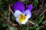 Wild Pansy (Viola tricolor) photo