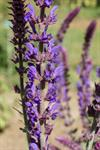 Wild Sage (Salvia nemorosa) photo