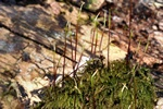 Willow Feather-moss (Amblystegium varium) photo