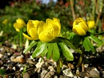 Winter Aconite (Eranthis hyemalis) photo
