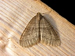 Winter Moth (Operophtera brumata) photo
