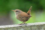 Winter Wren (Troglodytes troglodytes) photo