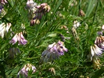 Wood Bitter-vetch (Vicia orobus) photo