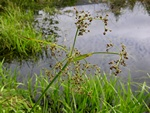 Wood Club-Rush (Scirpus sylvaticus) photo