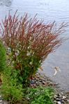 Wood Dock (Rumex sanguineus) photo