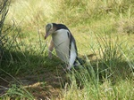 Yellow-eyed Penguin (Megadyptes antipodes) photo