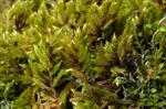 Yellow Feather-moss (Homalothecium lutescens) photo