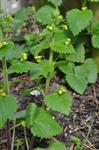 Yellow Figwort (Scrophularia vernalis) photo