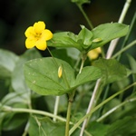 Yellow Pimpernel (Lysimachia nemorum) photo