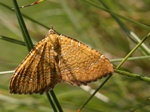 Yellow Shell (Camptogramma bilineata) photo