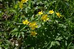 Yellow Wood Anemone (Anemone ranunculoides) photo