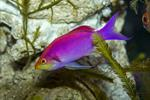 Yellowstriped fairy basslet  (Pseudanthias tuka) photo