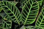 Zebra plant (Calathea zebrina) photo