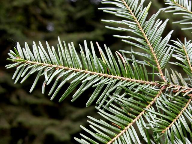 Silver fir abies alba