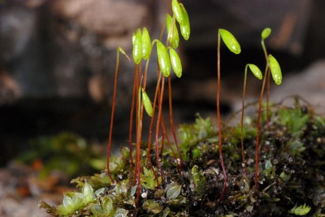 Capillary thread moss bryum capillare