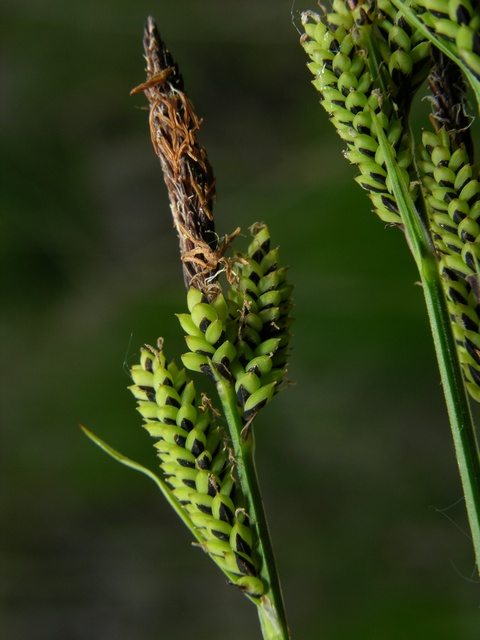 Carex cespitosa photo biopix jc schou