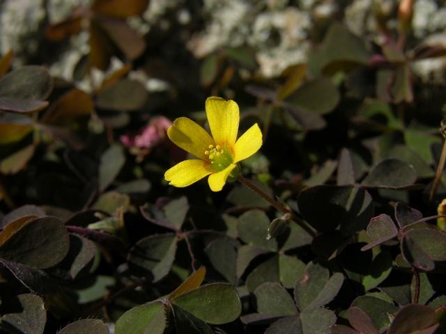 Oxalis norlindiana image
