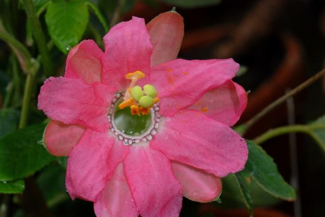 Passiflora mathewsii image