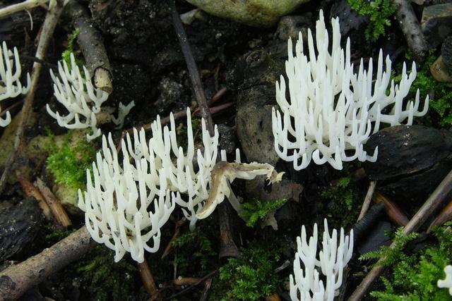 Ivory coral ramariopsis kunzei