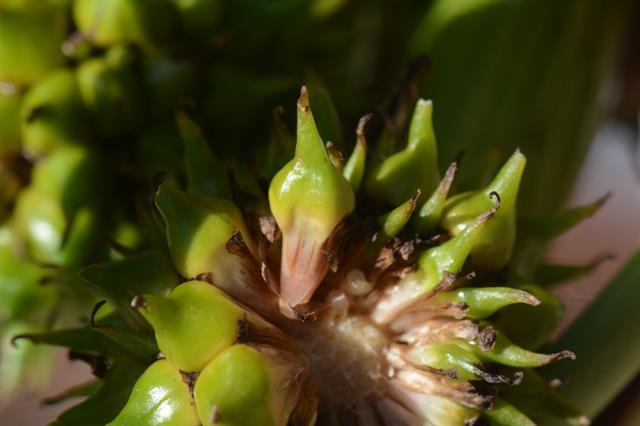 Sparganium erectum var. oocarpum image