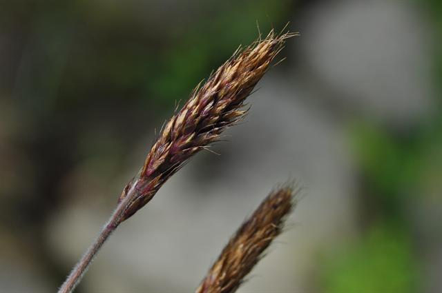 Image of Trisetum spicatum