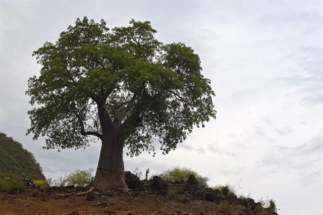 Adansonia digitata image