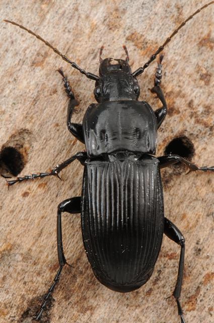 Abax parallelepipedus photo