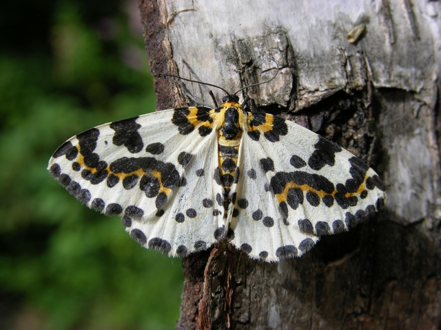 The Magpie (Abraxas grossulariata)