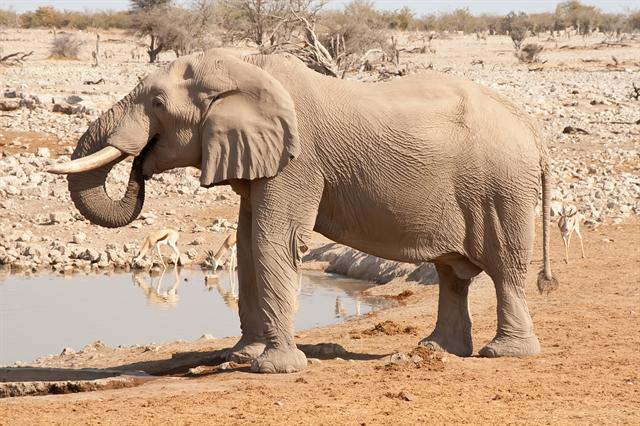African Bush Elephant (Loxodonta africana) photo