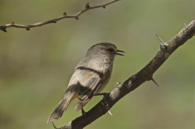 African Grey Flycatcher (Bradornis microrhynchus) photo