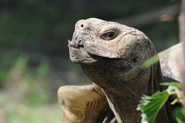 African Spurred Tortoise (Geochelone sulcata) photo
