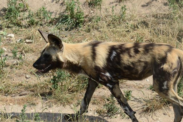 African wild dog (Lycaon pictus) photo