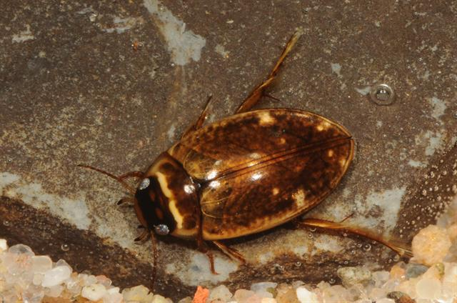 Agabus conspersus photo