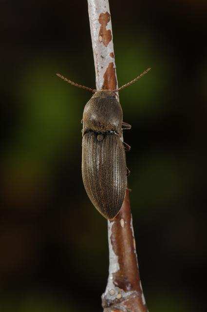 Agriotes obscurus