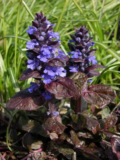 Ajuga reptans (Braun hertz) photo
